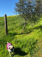 Lucy walking up the hill at Vino Bello Resort in Napa, CA