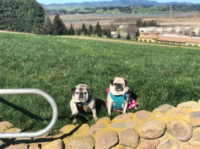 Bam Bam and Lucy Enjoying the view from the top of the hill at Vino Bello